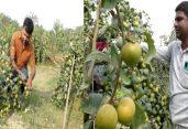 নওগাঁয় 'বল সুন্দরি' বড়ই চাষে সাফল্য